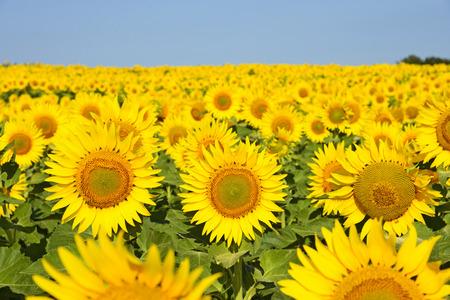 Sonnenblumenfeld unter blauem Himmel Standard-Bild - 25632175