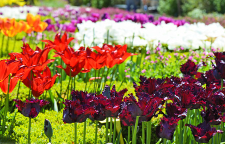 balchik: Beautiful tulips in a botanical garden