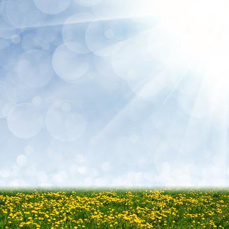 Dandelion field, blue sky and the suns rays photo