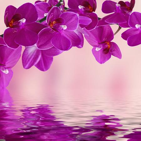 orchids: Primo piano di rosa orchidea phalaenopsis. Bouquet di fiori orchidee riflette in acqua