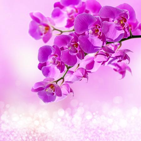 Close-up von rosa Orchidee Phalaenopsis Standard-Bild - 41879153