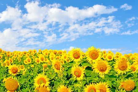 Sunflowers on a large field of sunflowers