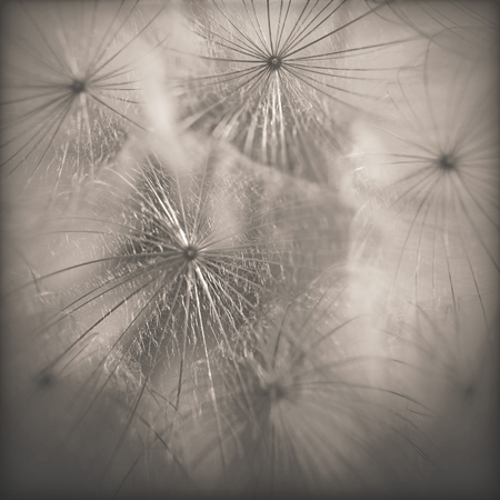 dandelion wind: Dandelion close-up.Special toned photo in vintage style Stock Photo
