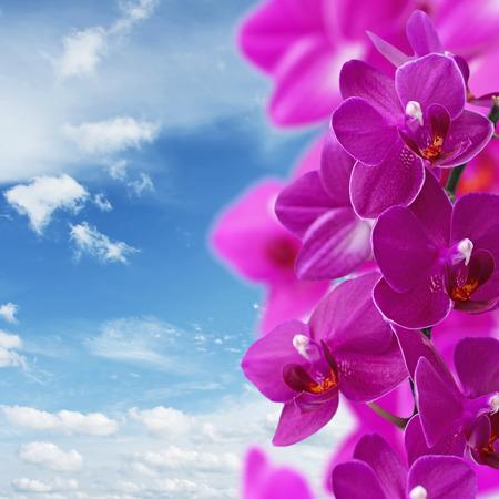 sfondo romantico: Romantic background with pink orchids