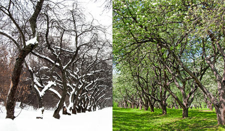 seasonality: Blossoming apple orchard and the same garden in winter, in the snow.Concept of climate change,seasonality,winter and spring Stock Photo
