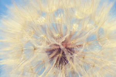 dandelion wind: Dandelion vintage nature background closeup.Special toned photo in retro style