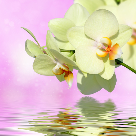 orchid branch: Close-up orchid phalaenopsis. Bouquet of flowers orchids reflected in water