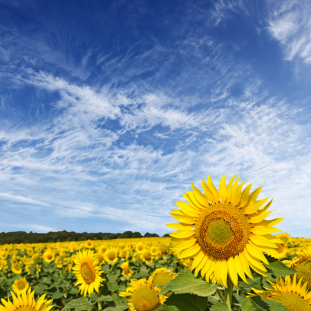 sunflower seed: Beautiful sunflower field and blue sky