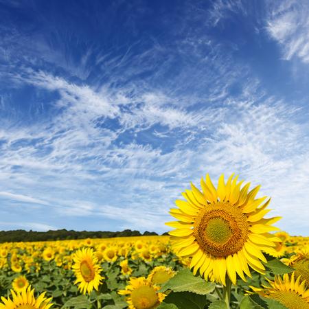 girasol: Hermoso campo de girasol y el cielo azul  Foto de archivo