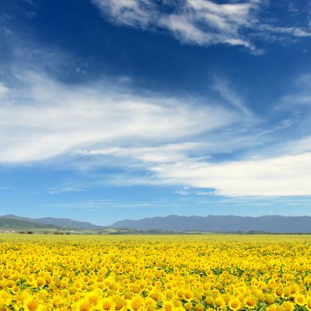 girasol: Campo de girasoles. Girasoles amarillos sobre las montañas y el cielo azul