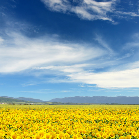Field of sunflowers. Yellow sunflowers over mountains and blue sky Stock Photo
