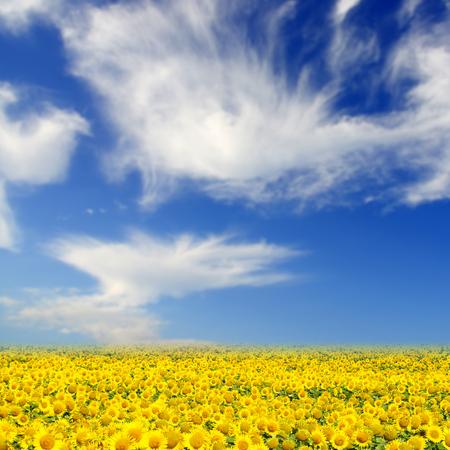 sunflowers: Field of sunflowers. Yellow sunflowers over blue sky