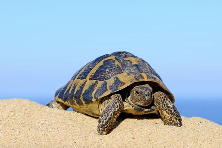 Hermanns Tortoise on a sandy beach close up