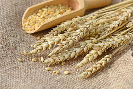 Wheat on burlap. Agricultural background