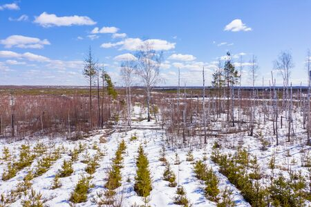 Planting young pine trees at the place where the forest burned down. Aerial drone view Imagens