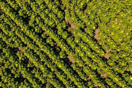 Sunflower field top view. Agricultural landscape from a bird sight Standard-Bild - 128843406
