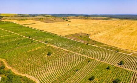 Vineyard on bright summer day. Aerial drone shot