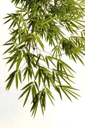 japones bambu: Bamb� deja aislado sobre un fondo blanco para arte-ilustraci�n