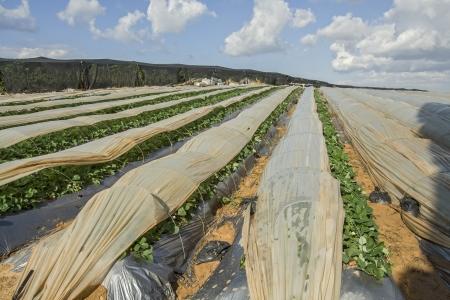 Strawberry plantation Stock Photo - 16979831