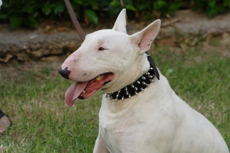 Fighting dog Bull Terrier Breed Stock Photo
