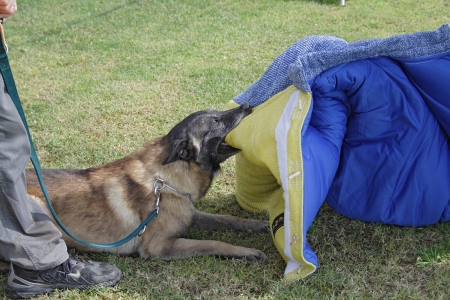 Dog training school  Belgian Malinois in the attack  Editorial