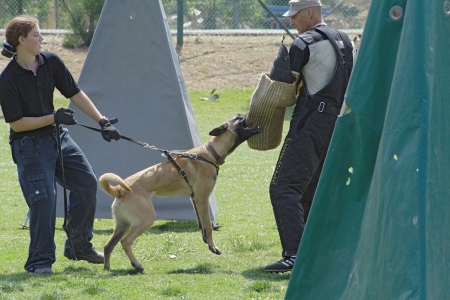 Dog training school  Belgian Malinois in the attack