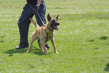 Dog training school. Belgian Malinois in the attack.