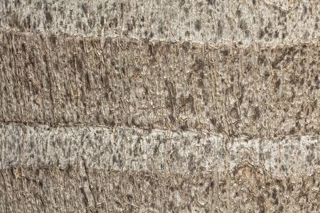 bark palm tree: Texture - tree bark  Beauty tree bark of palm