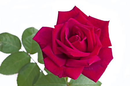Red Rose. Luxury purple rose on a white background.