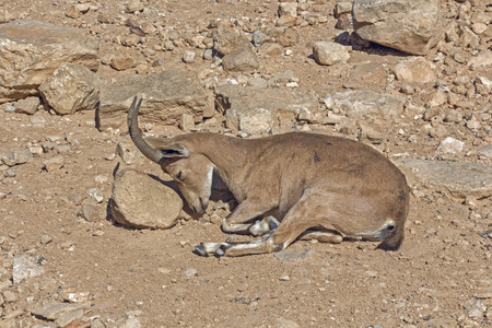 arava: Roe deer in the arid desert in Israel.
