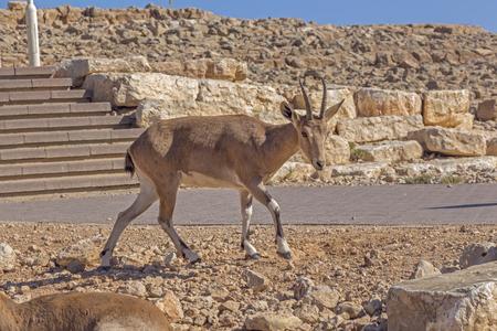 arava: Roe deer in the arid desert in Israel.