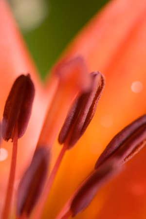 stami: la macro fotografia di rosso papavero della stami