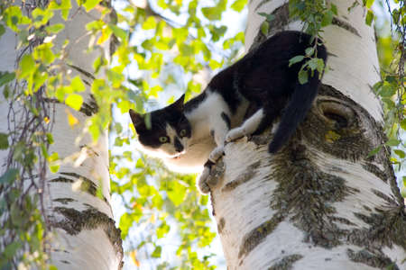 spotty: the spotty cat behind two white birches Stock Photo