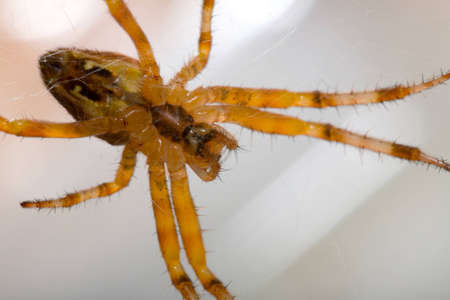 arachnoid: the macro of small spider in web
