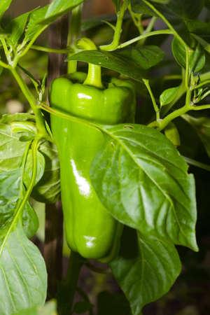 bush pepper: the large green pepper growing on bush