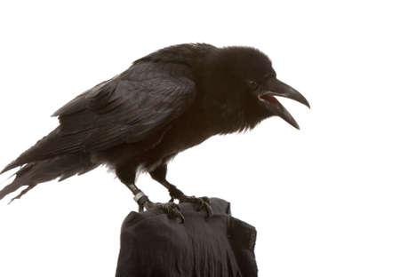 black plumage: portrait of black raven on white background
