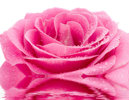 the pink rose with water drops macro photo
