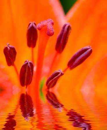 stamens: the stamens of scarlet poppy close-up macro