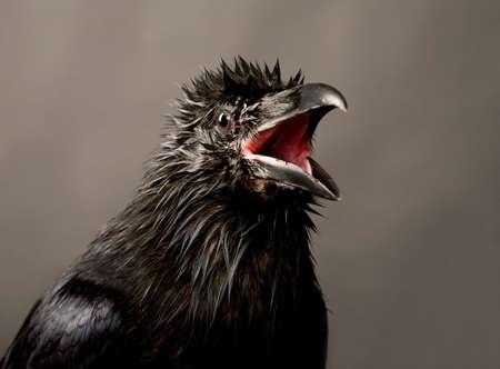portrait of black raven on gray background Stock Photo