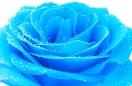 the blue rose with water drops macro photo