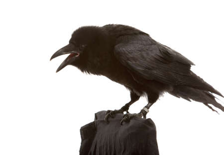 crow: portrait of black raven on white background