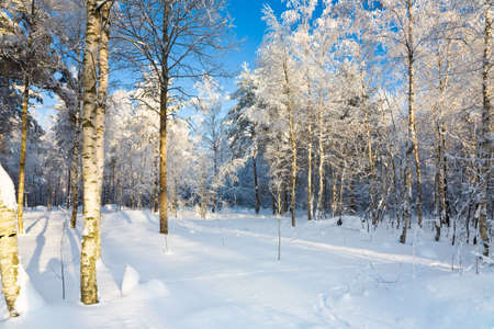 The winter in a sunny forest, seasonal landscape Stock Photo - 6389154