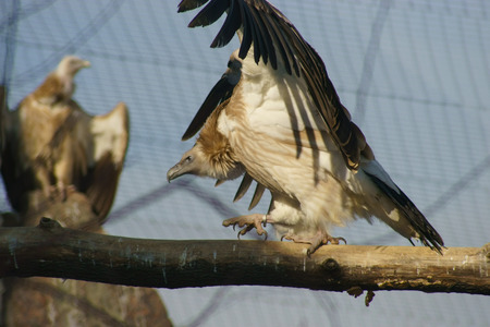 Two Vultures in the zoo. photo