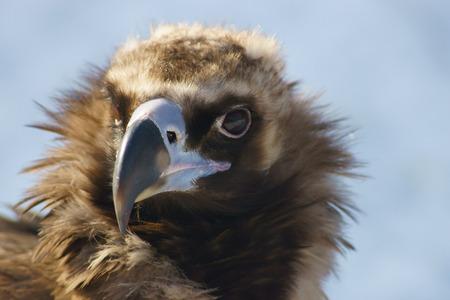 Black vulture close up. photo