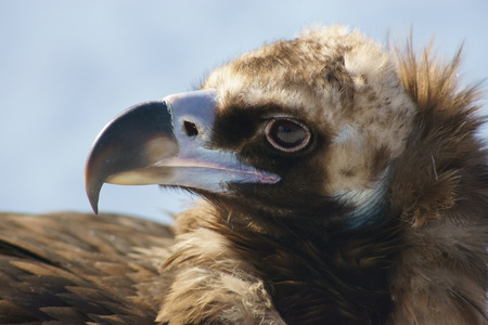Black vulture close up  photo