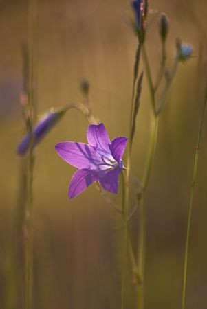 A bell flower, wild, isolated Stock Photo - 10575771