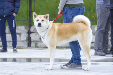 akita: Akita inu dog Stock Photo