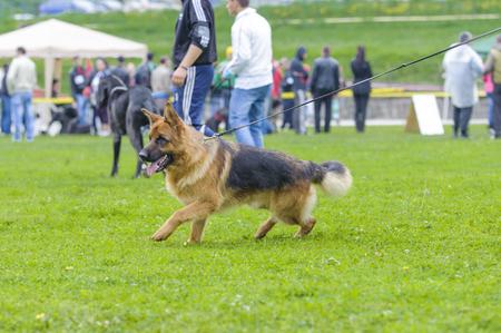 shephard: German shepherd