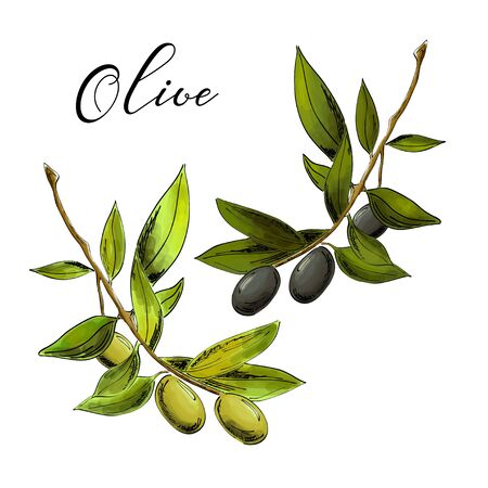 Vector realistic illustration of black and green olive branches isolated on white background. Illusztráció