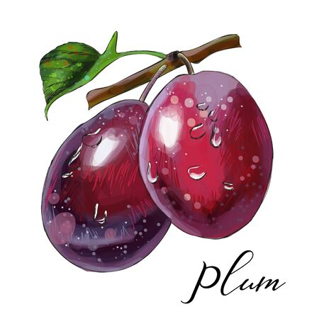 Plums on branch. Vector illustration.